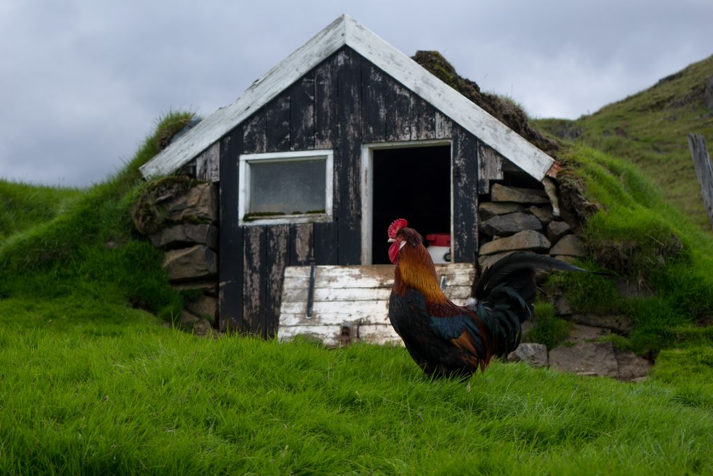 Tag 10: Ein Prachthahn - wie man ihn Island eher selten sieht. Das Land gehört definitiv den Schafen.
