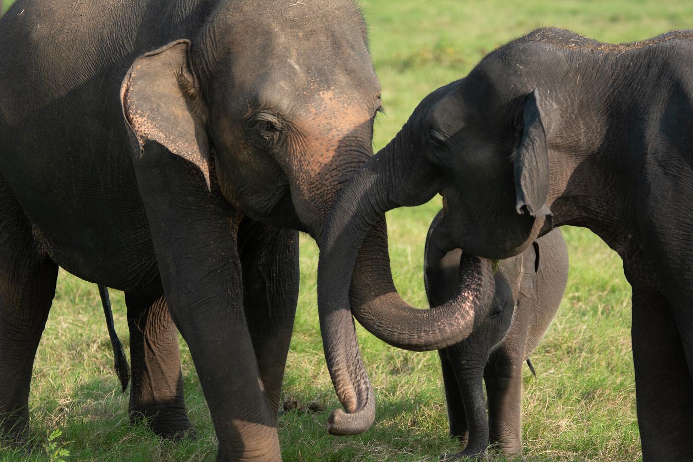 Elefanten grasen